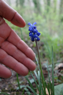 Walk in Tuscan Hills  Tiny bell shaped blue wildflowers