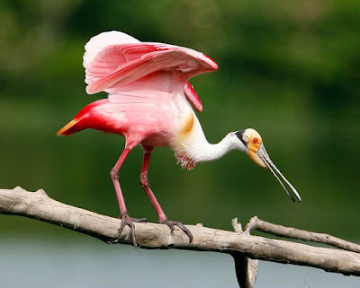 Roseate Spoonbill - Animals Starting With R