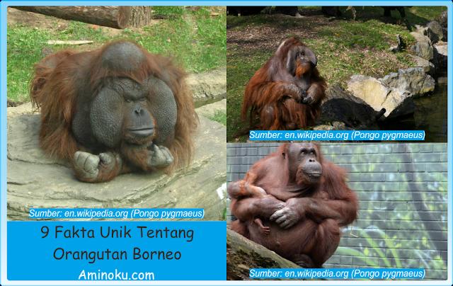 Fakta unik orangutan borneo