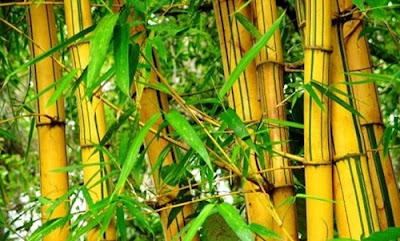 http://mustahabbah.blogspot.com/2017/03/khasiat-daun-bambu-kuning.html