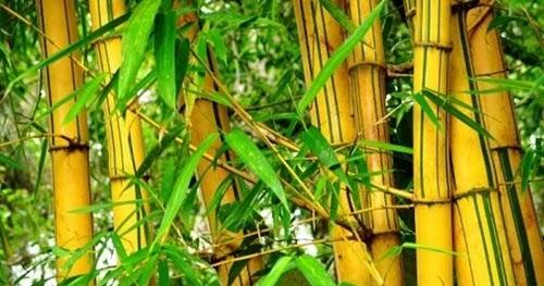 Khasiat Daun Bambu Kuning