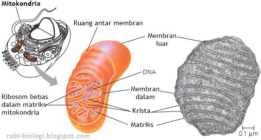 struktur mitokondria