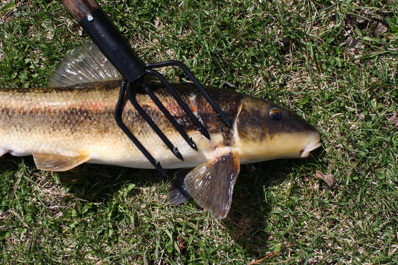 Mountain sucker - Wikipedia   Sucker Fish