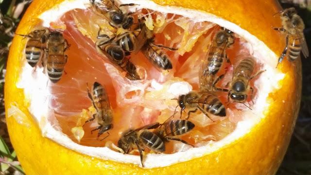 Έρευνα: Οι μέλισσες έχουν εξαφανιστεί ήδη μία φορά μαζί με τους δεινόσαυρους