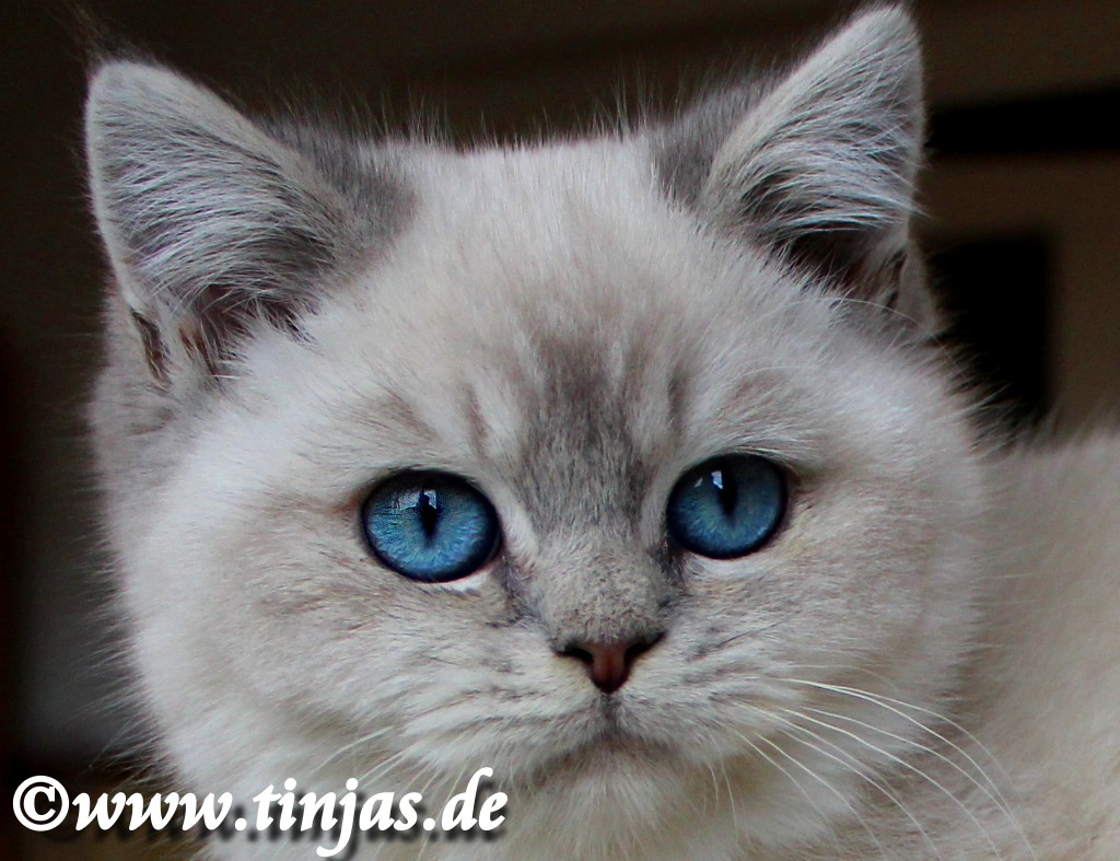 Britisch  Kurzhaar Kitten blue golden tabby point