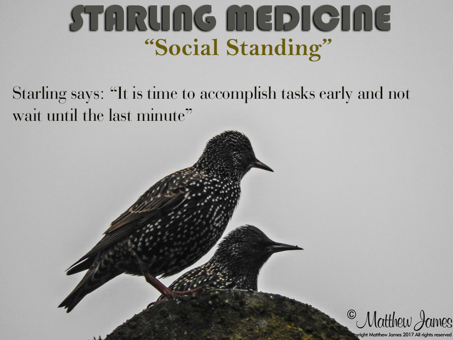 A Light In The Darkness Starling Totem Bird Of The Day