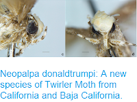 http://sciencythoughts.blogspot.co.uk/2017/05/neopalpa-donaldtrumpi-new-species-of.html