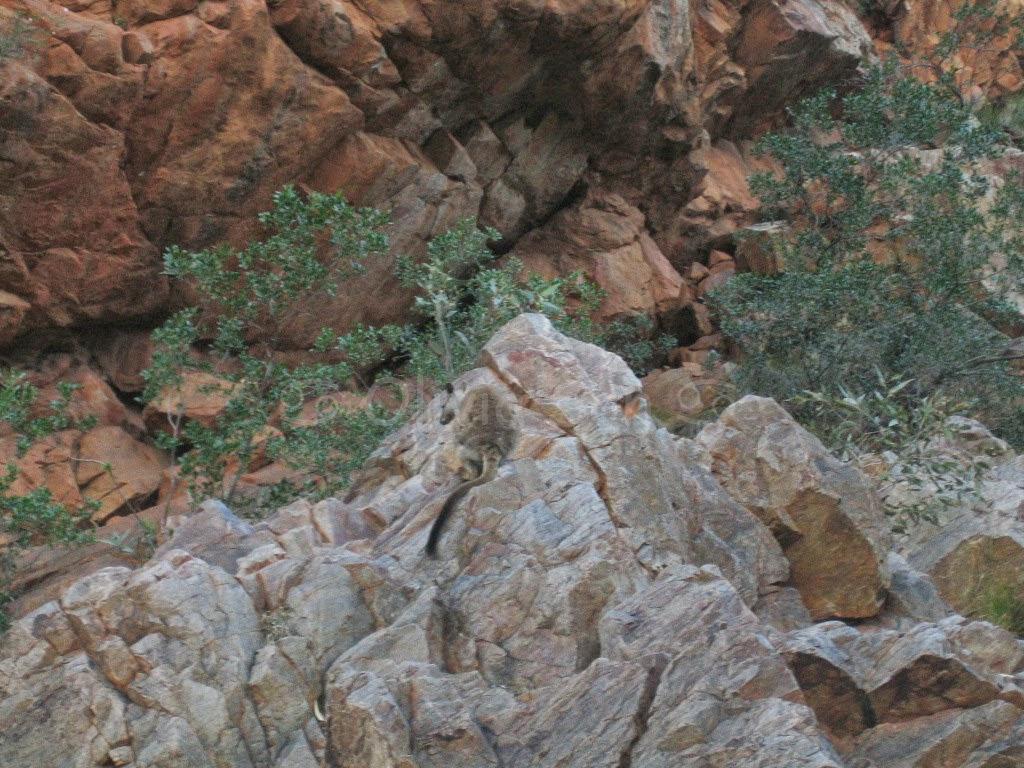 Wallaby, Ormiston Gorge, Australie