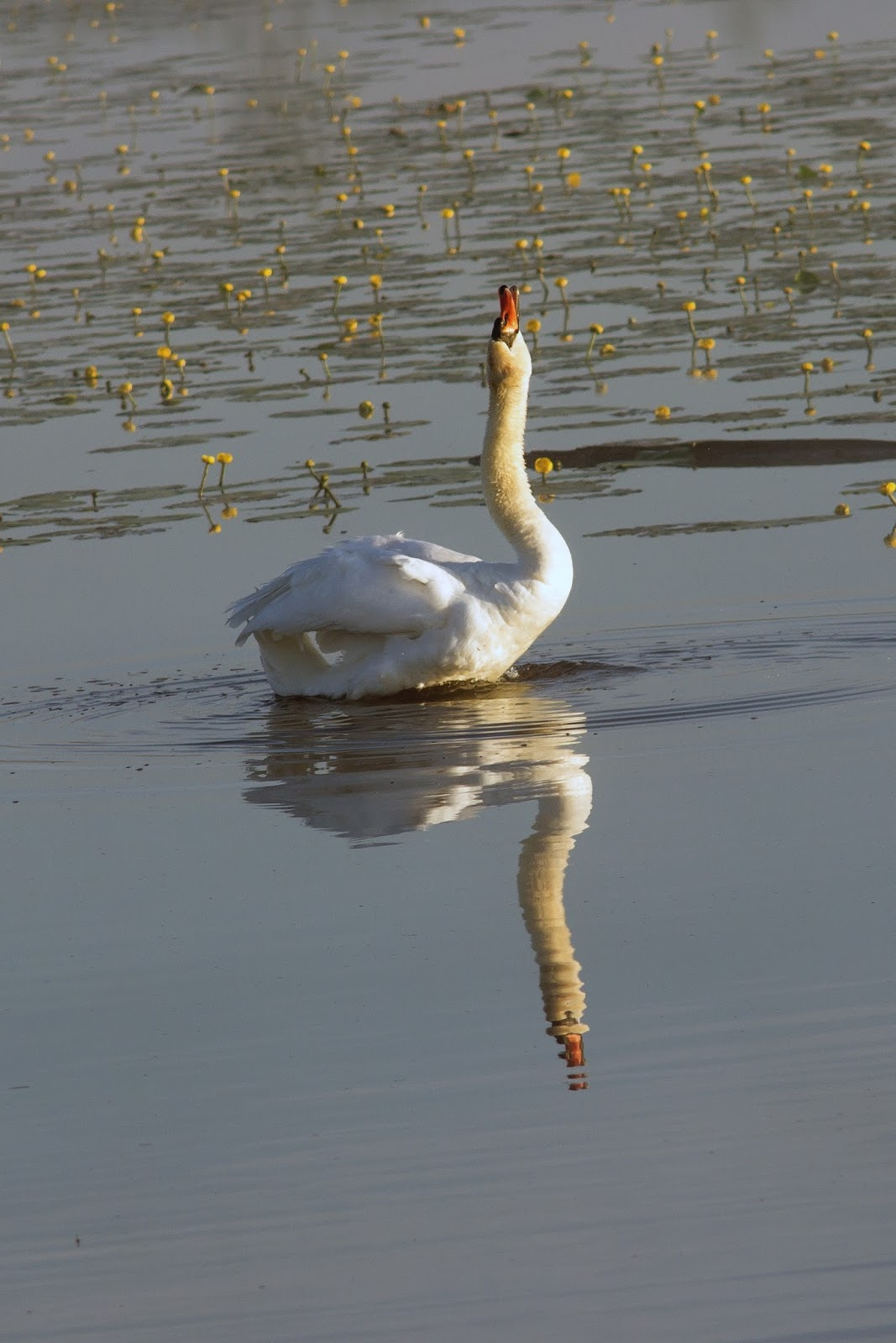 Picture of a swan singing.
