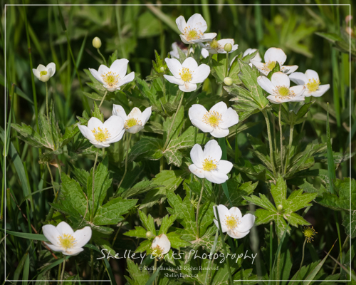 Canada Anemones. Copyright © Shelley Banks, all rights reserved.