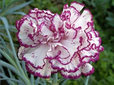 Canartion - Hoa cẩm chướng 6