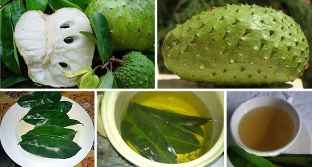 The Leaves of Soursop Are Much Stronger at Killing Cancer Cells Than Chemotherapy