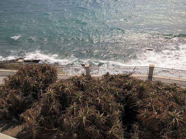 Aloe arborescens in Riva al Mare in Liguria