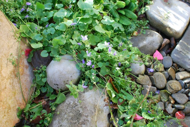 plant growing amongst stones with purple flowers