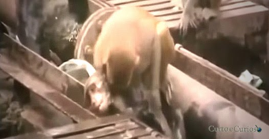 Macaco tenta de tudo pra ajudar amigo eletrocutado em estação de trem na Índia