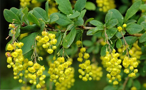 sarı çalı (berberis vulgaris)