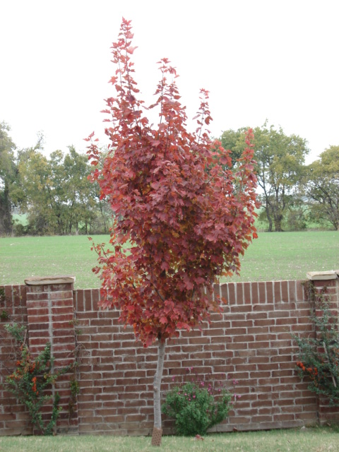 Maples 4 Allen Texas Who Said There Are No Fall Colors