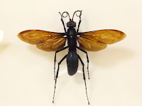 Close-up of an individual tarantula hawk