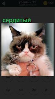 на руках сидит сердитый кот с ошейником
