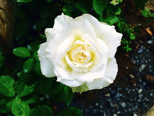 hoa hồng trắng đẹp nhất thế giới 5