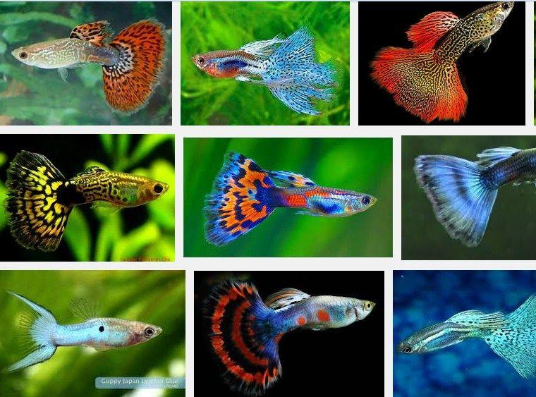 Jenis dan harga ikan guppy di pasaran