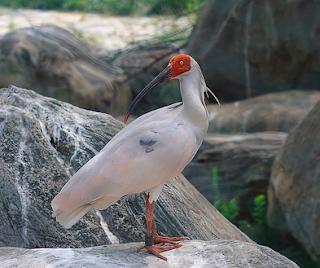 Burung Nipponia nippon atau burung ibis