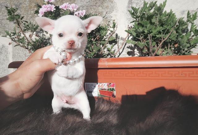 se vende Chihuahua