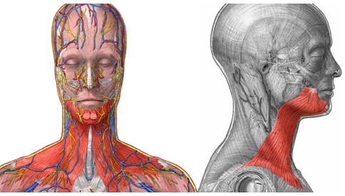 Músculos del cuello y otras partes anatómicas