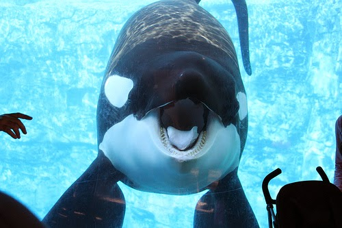 Captive Cetaceans Tragically Sad: Is Tilikum Transient or Resident?
