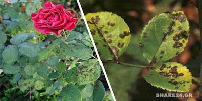 Μαύρες Κηλίδες στα Φύλλα της Τριανταφυλλιάς – Οι Καλύτερες Λύσεις για την Αντιμετώπισή Τους