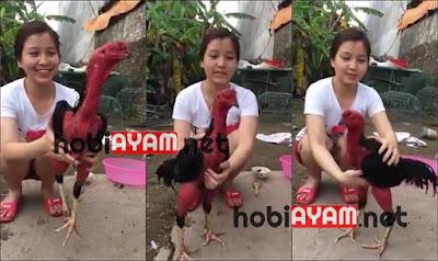 Ayam Jago Botak