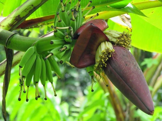 bunga-pisang