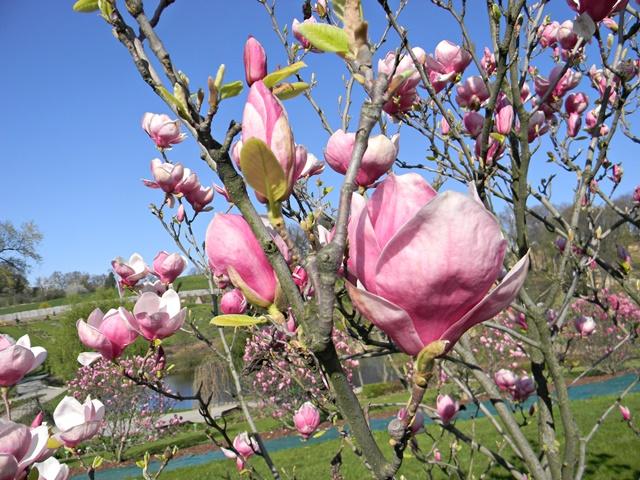 W Wojsławicach jest dużo magnolii.