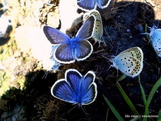 Mariposas en el Valle del Cardós, Pirineo Catalán