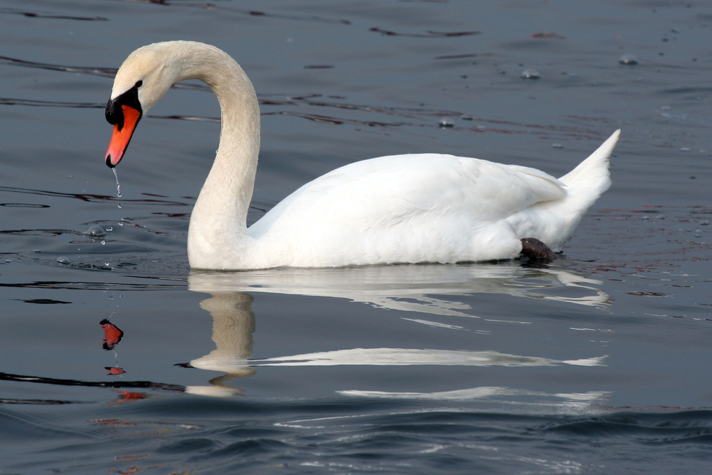 Swan   The Life of Animals