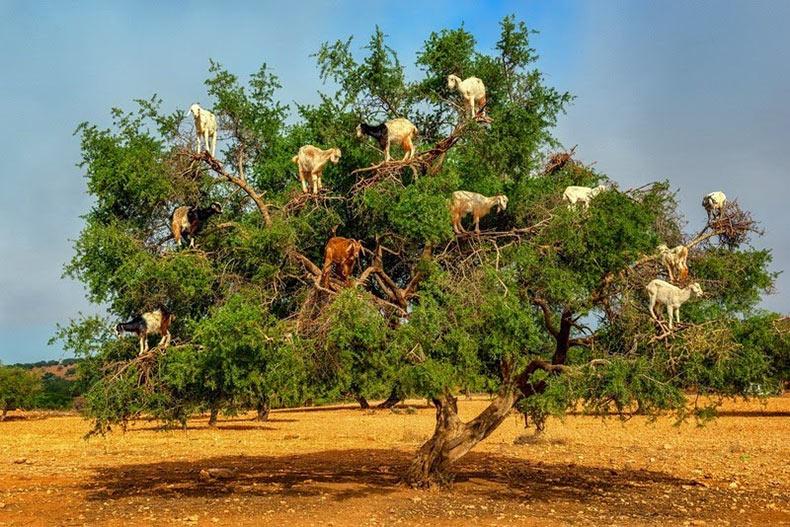 Las cabras trepadoras de Argán | Marruecos