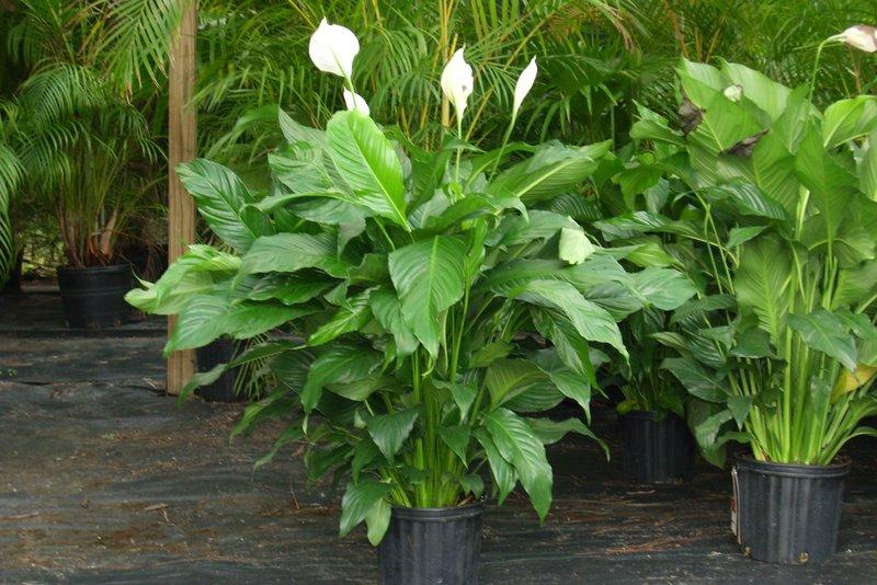 easy to grow plants houseplants the fancy flora. Black Bedroom Furniture Sets. Home Design Ideas
