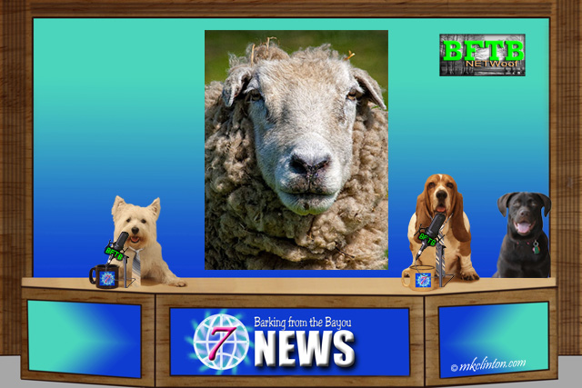 BFTB NETWoof News with senior sheep story