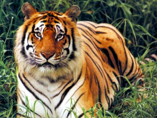 India has 2226 tigers in India in Year 2014