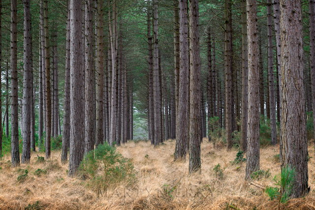 Studland Bay pine forest on the beautiful Dorset coast