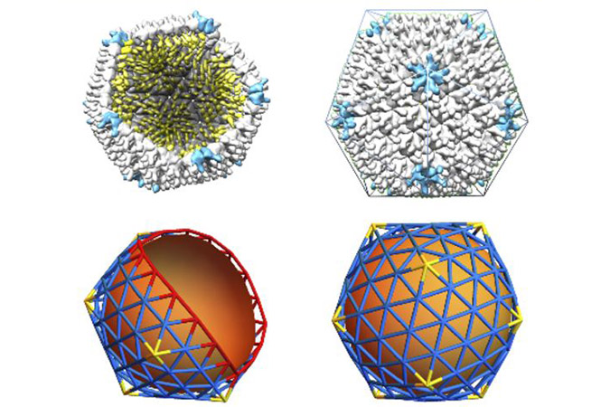 Penelitian Why Large Icosahedral Viruses Need Scaffolding Proteins