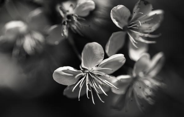 kirsikankukka lähikuva makro valkoinen kukka kevät puutarha luonto mustavalkoinen