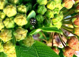 Propylea quatuordecimpunctata, Fourteen-spotted Lady Beetle