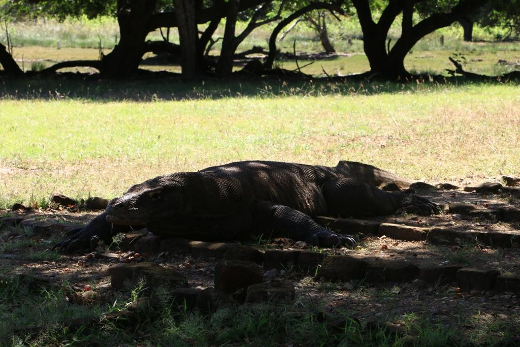 Komodo yang berteduh di bawah pohon kom