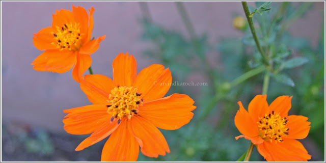 Yellow, Orange, flower, Garden flowers