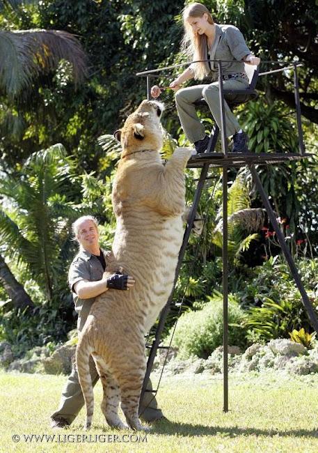 Liger Hércules, o maior felino do mundo