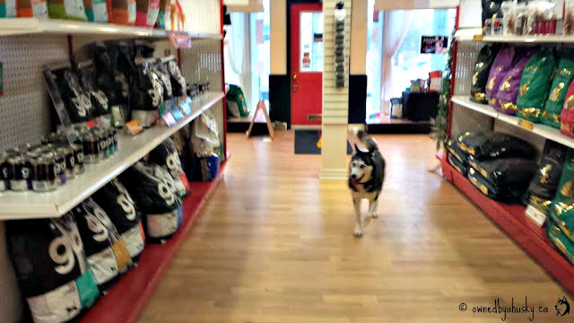 Flurry The Husky In Smiths Falls Pet Store