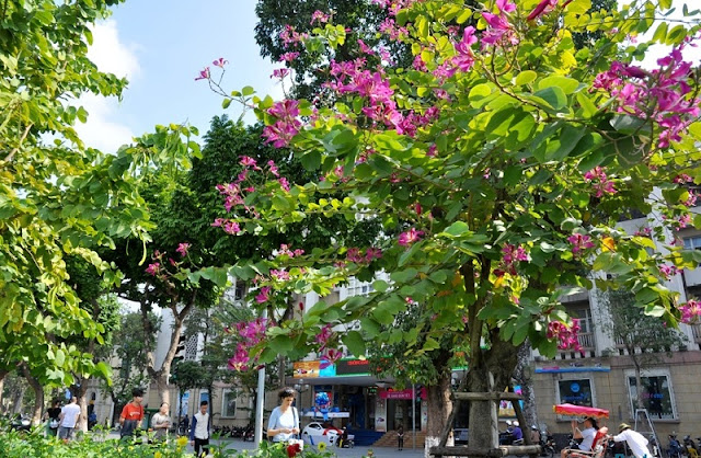 Ban flowers blossom on Hanoi streets 4