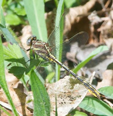 Lancet Clubtail (Phanogomphus exilis)