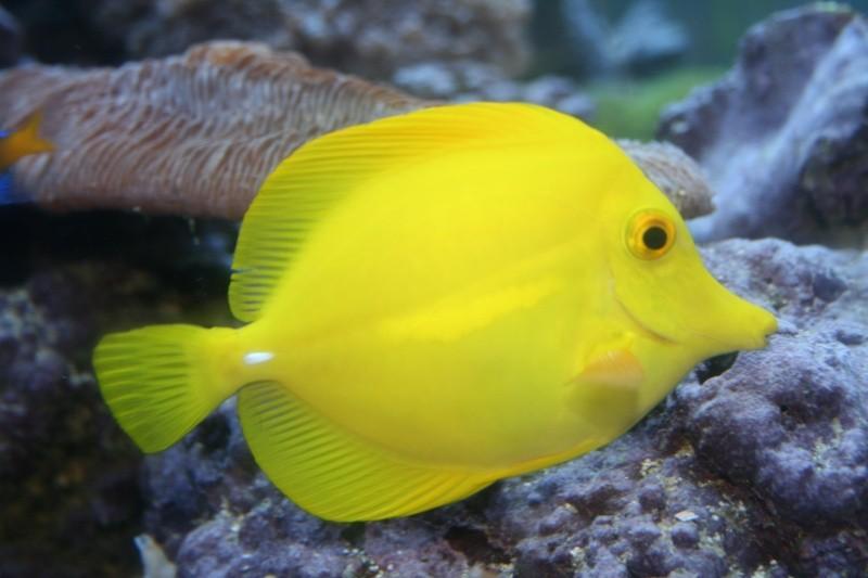 Aquarium Fish   Yellow Tang Fish Wallpaper | Fun Animals Wiki, Videos